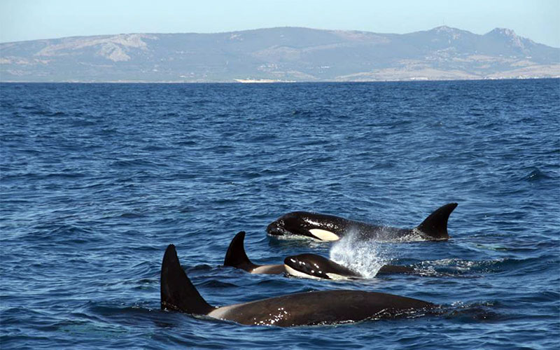 Estrecho-de-Gibraltar-orcas
