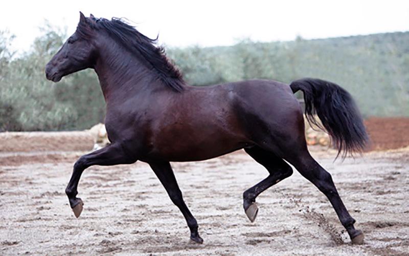 caballo-pura-raza-española-foto-de-David-de-Biasi