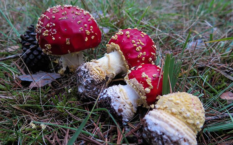 setas-amanita-muscaria-foto-de-javv