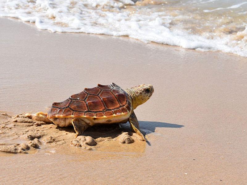 Tortuga boba en la costa de Tarifa (Junta)