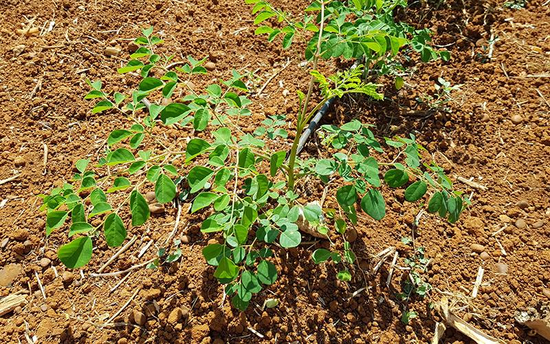 Connatur-moringa-oleifera-Conil-de-la-Frontera-1