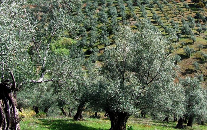 olivar-andaluz-foto-de-Junta-de-Andalucía
