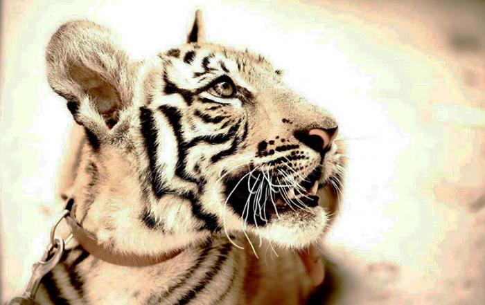 Lala-tigresa-Reserva-Animal-La-Pequeña-Africa-Jimena-de-la-Frontera-2